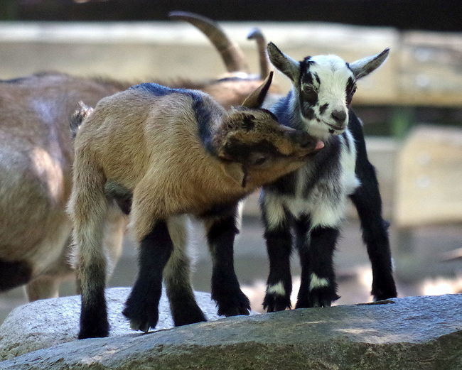 Kid goats on rock