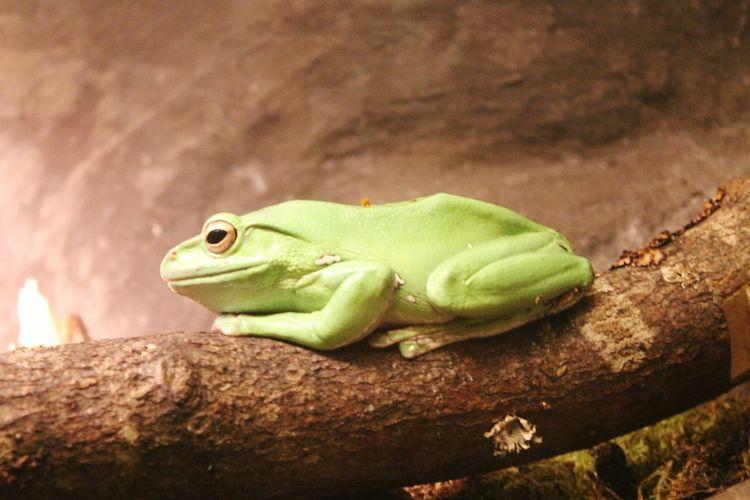 Tropical frog in Copenhagen Zoo Animal Animals Copenhagen Zoo Zoo Frog Tropical Frog Green Frog