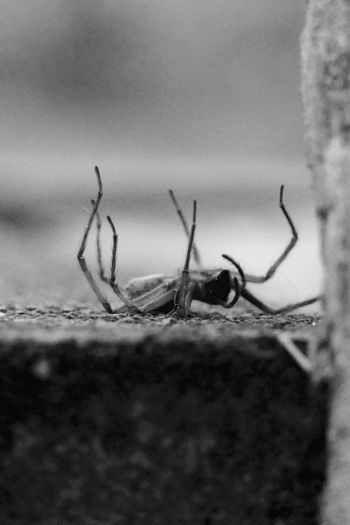 Animal Themes Black And White Dead Spider Nature Selective Focus Spider Spider On Back