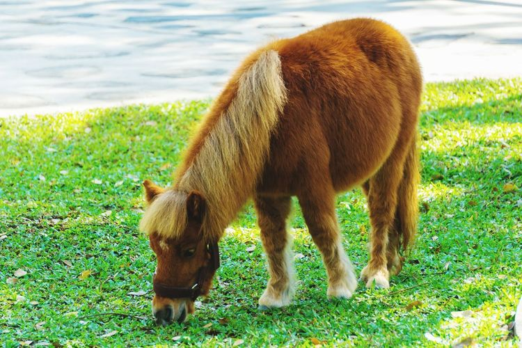 One Animal Animal Themes Mammal Domestic Animals Grass Field Animals In The Wild No People Animal Wildlife Day Outdoors Green Color Love ♥ Lovephotography  Lovely Livestock Nature Close-up Dwarf Horse