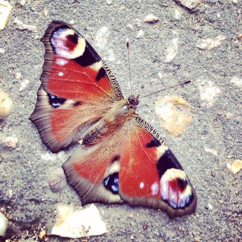 Found this lovely Butterfly I think it's a peacock on my way to work. Wildlondon London