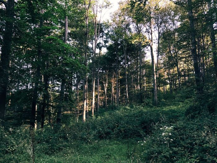 Tree Forest WoodLand Nature Pinaceae Tree Trunk No People Pine Tree Lumber Industry Tranquility Outdoors Day Growth Landscape Scenics Beauty In Nature Tree Area Grass Sky