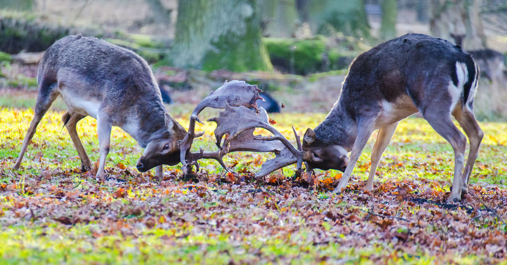 Deers locking horns in forest