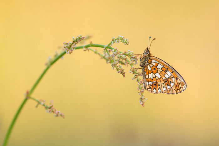 Pretty Small Pearl-bordered Fritillary butterfly resting on grass with golden background Fritillary Butterfly Animal Animal Themes Animal Wildlife Animals In The Wild Beauty In Nature Butterfly - Insect Fragility Insect Nature One Animal Outdoors