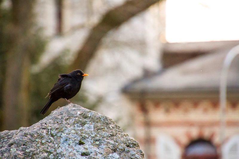 Bird On Rock Black Bird Orange Beak One Bird Sitting Bird Bird In The Park