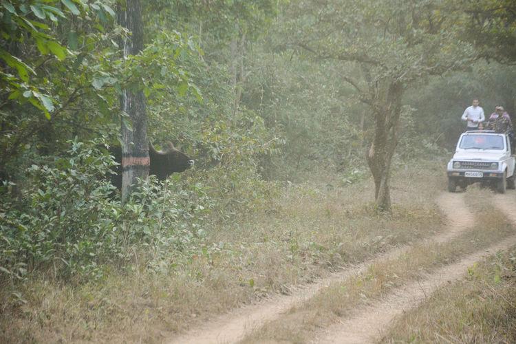 Day Indian Gaur Man Versus Nature Nature Outdoors Safari Animals Tadoba Reserve Tree Wild Animal Wildlife & Nature Wildlife Photography