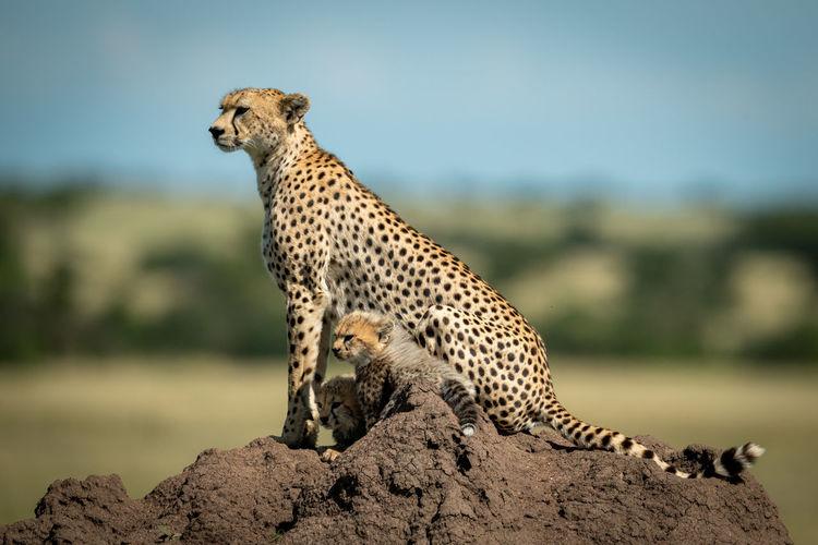 Full length of cheetah sitting on rock