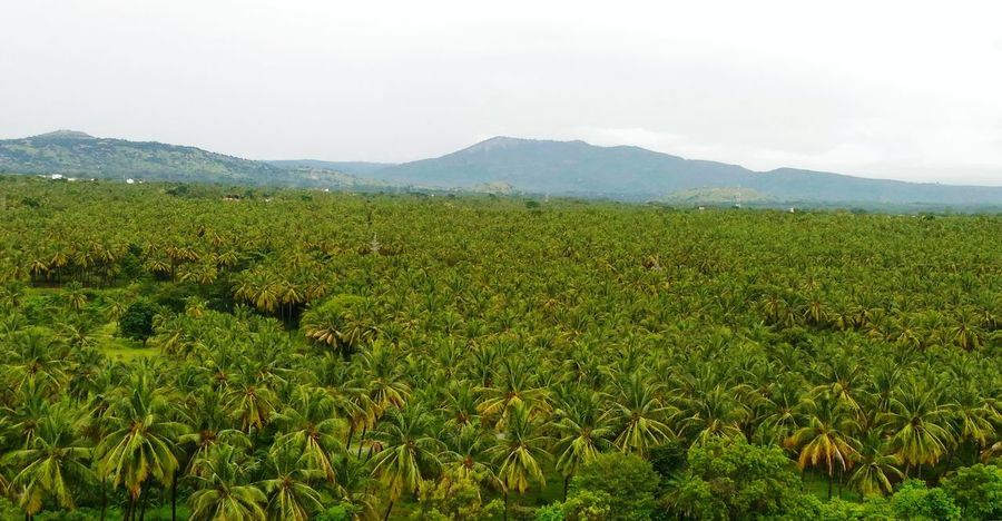 Hi World ! Thats My Photography With Nature Eyem Nature Lovers  Beautiful Mountain Coconut Trees Landscape Relaxing Moments Glowing Grass First Eyeem Photo Perspectives On Nature