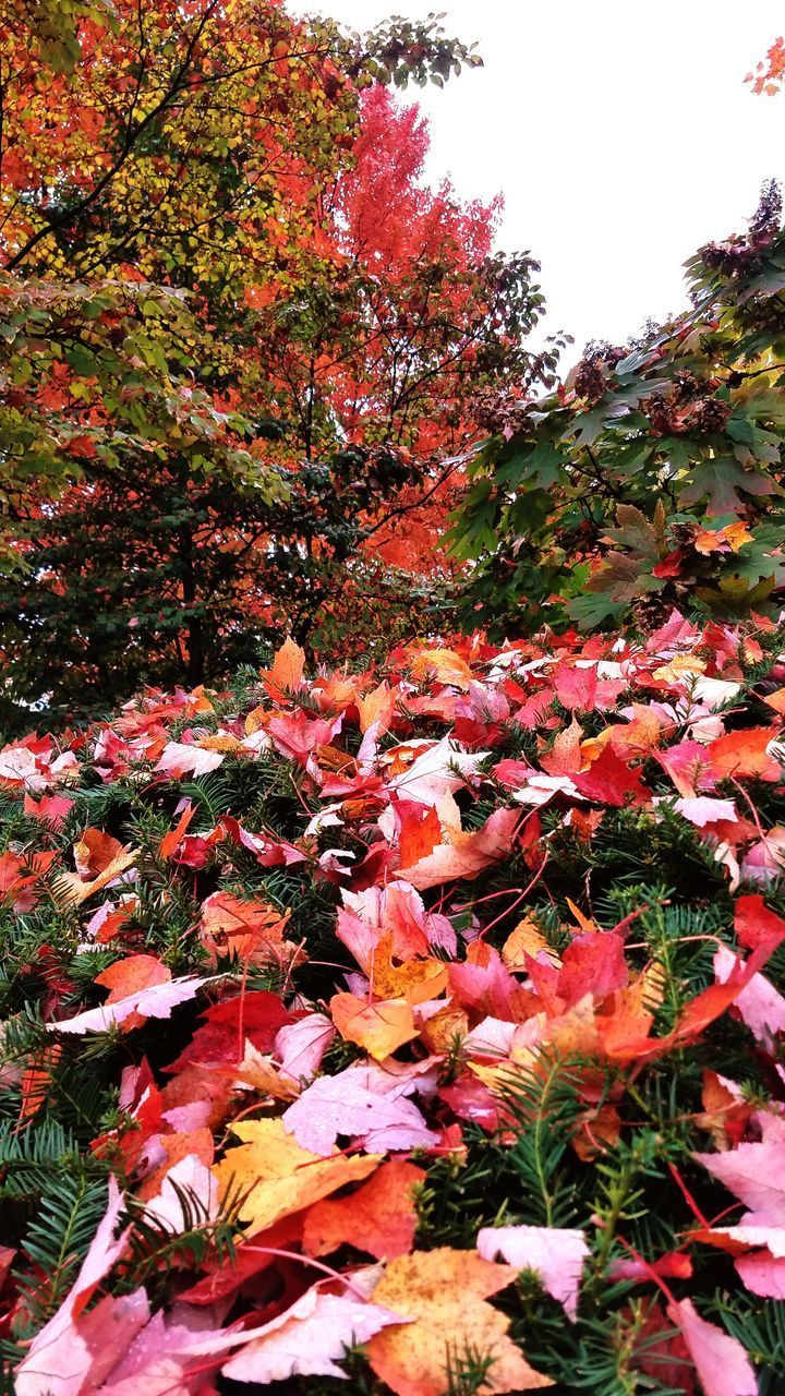 plant, autumn, change, beauty in nature, growth, plant part, nature, leaf, tree, no people, day, flowering plant, flower, vulnerability, close-up, land, orange color, tranquility, outdoors, fragility, maple leaf, leaves, natural condition