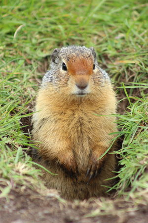 Groundhog Animal Cute Waterton National Park