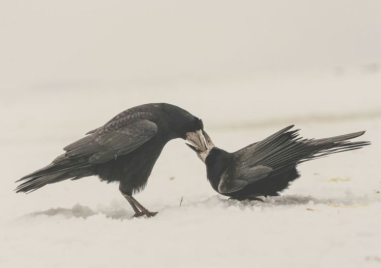 Crows And Ravens Bird Animals In The Wild No People Outdoors Day Nature Beauty In Nature Snowday Nature