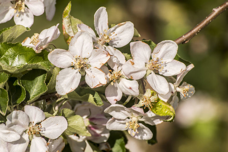 Spring blossoms beautiful flowers on the apple tree in nature Flower Plant Beauty In Nature Flowering Plant Growth Fragility Close-up Vulnerability  Freshness White Color Flower Head Nature Blossom Inflorescence Fruit Tree Tree No People Pollen Springtime Outdoors Cherry Blossom Cherry Tree Apple Pear Spring