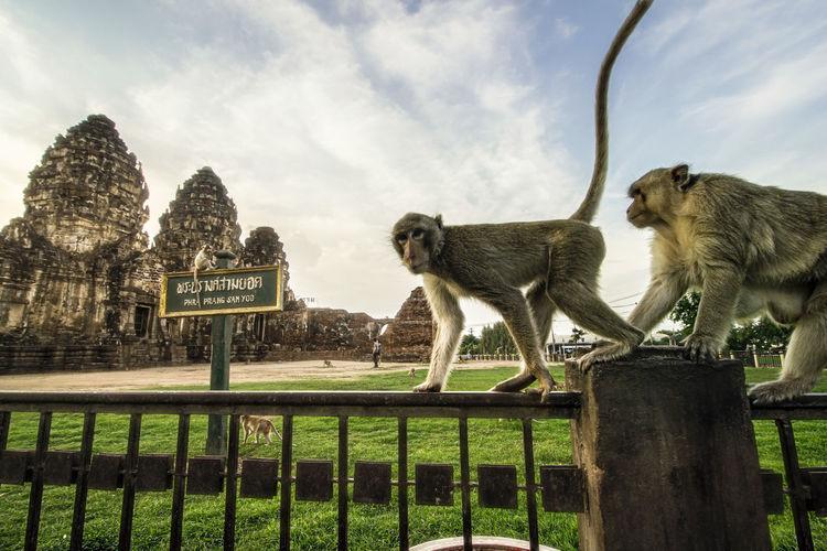 PHRA PRANG SAMYOD Monkeys Phra Prang Samyod Thailand Travel Landscape Lop Buri Monkey Shot