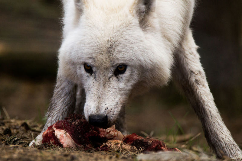 Animal Themes Animal Wildlife Animals In The Wild Close-up Day Focus On Foreground Mammal Nature No People One Animal Outdoors Polar Wolf Wolf The Great Outdoors - 2017 EyeEm Awards
