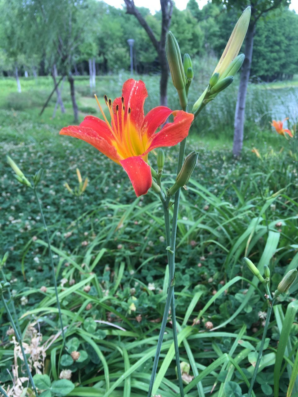 flower, growth, petal, beauty in nature, freshness, nature, flower head, fragility, plant, field, blooming, day, outdoors, no people, close-up, day lily, crocus