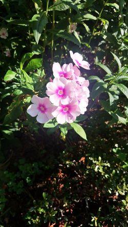 Flower Head Peony  Leaf Petal Wild Rose