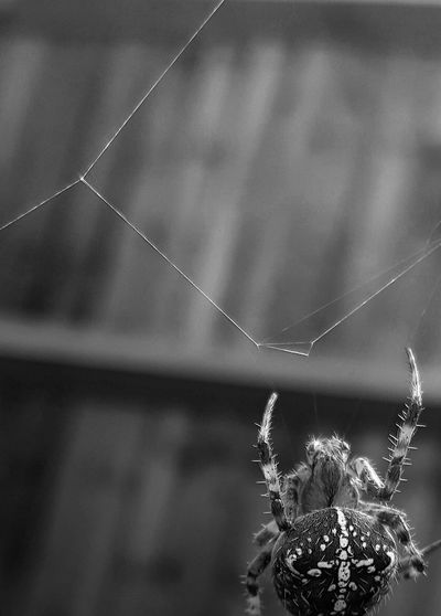 Nature No People Beauty In Nature Close-up Outdoors Spider Web Fragility Spiders Spider Tranquil Scene Nature_collection Autumn 2016 Black&white Blackandwhite Photography Black And White Non-urban Scene Countryside Animal Themes