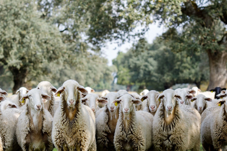 Flock of sheep in the farm