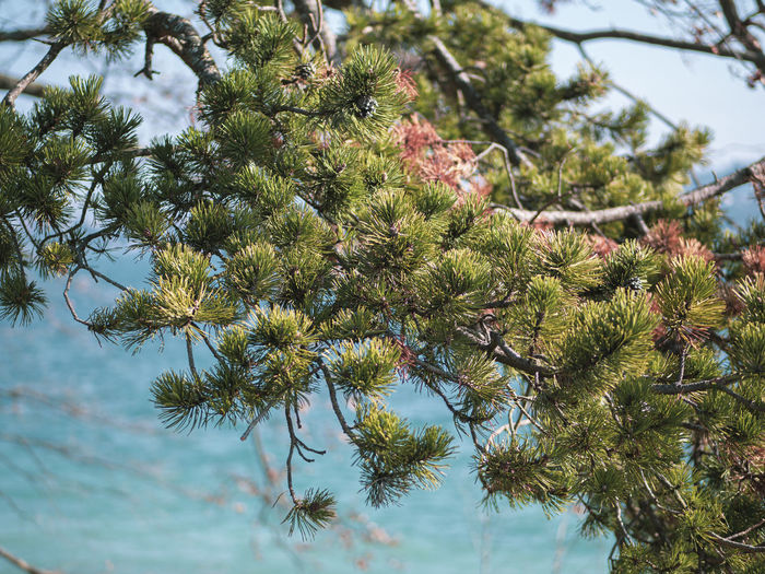 Low angle view of pine tree against sky