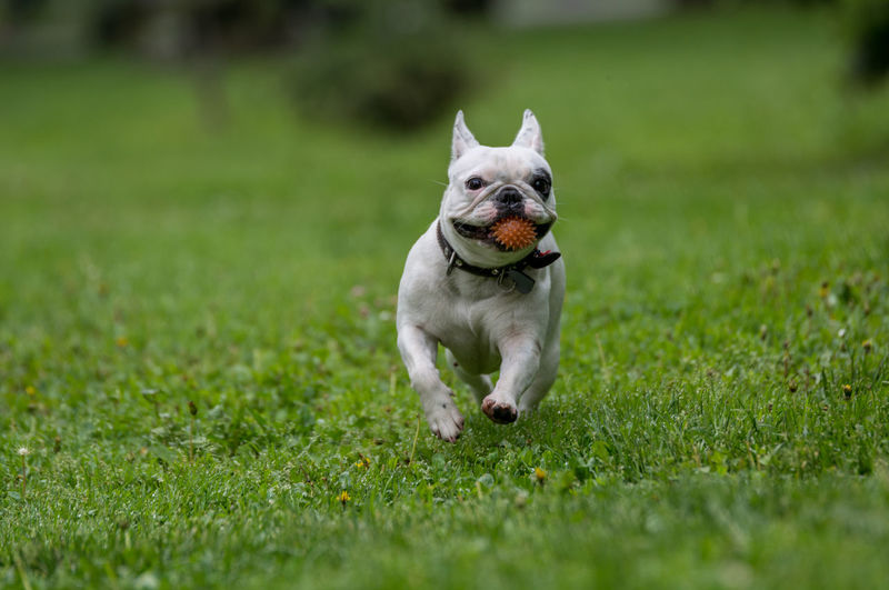 French bulldog with spiked ball in mouth running on grassy field
