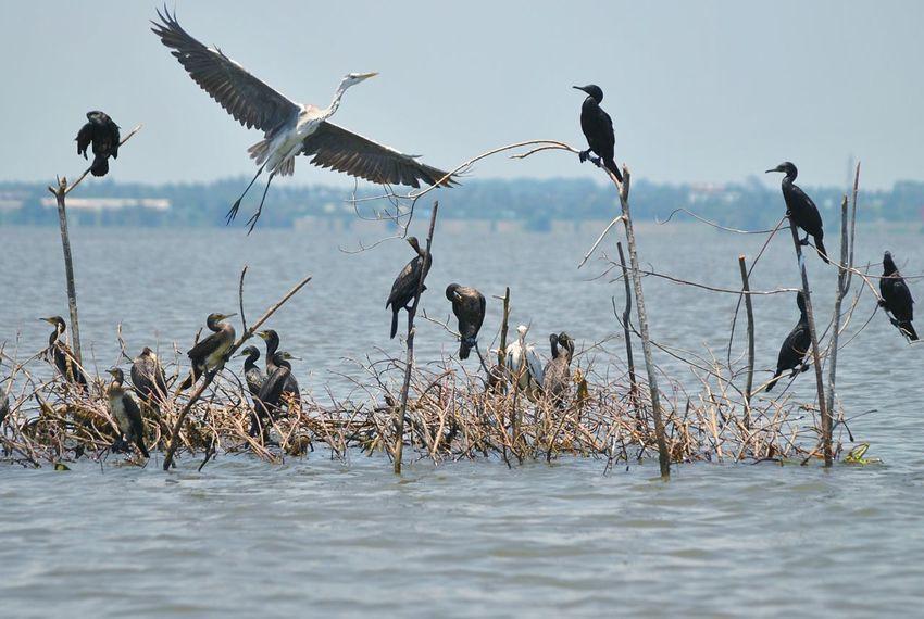 sea birds! Negambo Lagoon Negambo Primitive Fishing Bird Spread Wings Water Flying Flock Of Birds Wetland Swamp Marsh