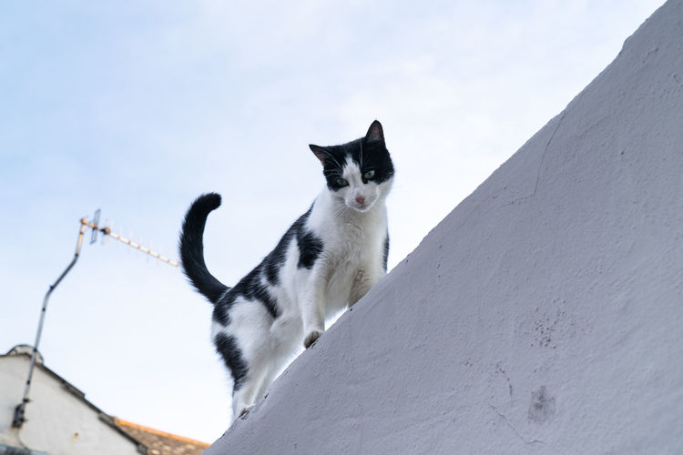 Black and white domestic cat on a white wall looking at the camera and viewer wanting attention