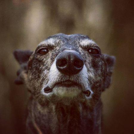 everything is fine bro! Galgoespañol Galgo Galgoespañol Galgos Galgolovers Dogsofinstagram Happydogs Dogs Dog Doggy Whatup Fine MYeverything Hellowood Lookatme Lookatmenow