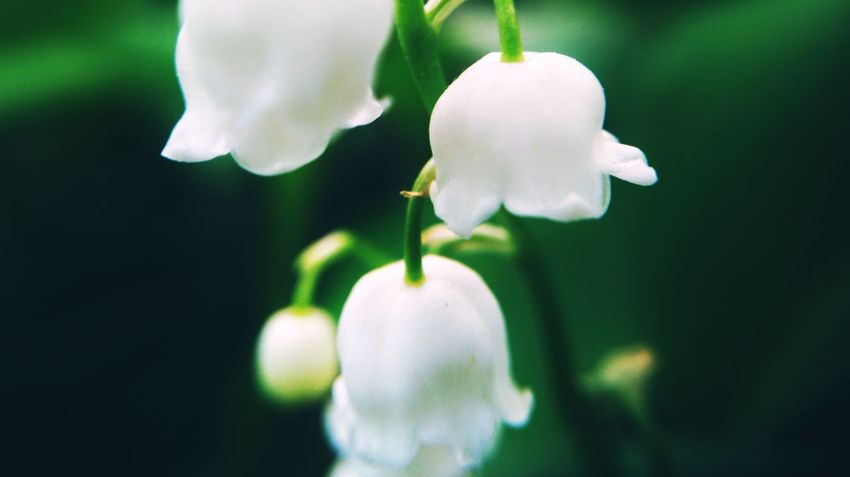 Mobilephotography Flower Flower Head Water Leaf White Color Close-up Plant