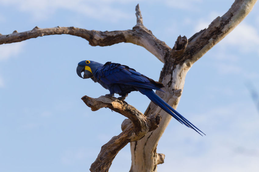 Hyacinth macaw close wildlife Parrot Hyacinth Macaw Blue Ornithology  Wild Wildlife Wildlife & Nature Wildlife Photography Nature Nature_collection Nature Photography Wild Brazil Brazilian Bird Tree Perching Blue Sky Tropical Bird Macaw Gold And Blue Macaw