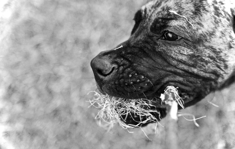 One Animal Animal Animal Themes Mammal Dog Canine Pets Domestic Animals Domestic Vertebrate Close-up No People Animal Body Part Animal Head  Looking Away Looking Selective Focus Day Focus On Foreground Nature Whisker Snout Great Dane Springtime Fun Dogs Dog Love Dogslife Puppy Blackandwhite Contrast White Color Black Different Perspective Headshot Grass Playing With The Animals Garden Photography Poland