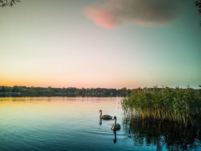 Birds in lake against sky during sunset