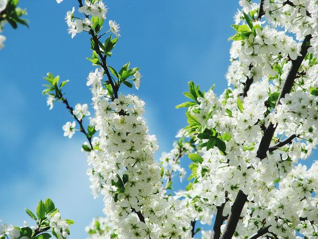 Tree Flower Nature Blossom Growth Branch Springtime Beauty In Nature No People Day Plant Low Angle View Freshness Sky Outdoors Fragility Blue Clear Sky Plum Blossom Plum Flowers Flowers, Nature And Beauty EyeEm Nature Lover Flower Collection Flowers Of EyeEm EyeEm Gallery