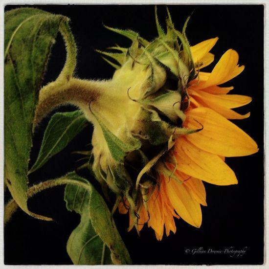 Sunflower Flowerporn Hipstamatic EyeEm Nature Lover Mob Fiction
