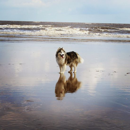 Alaskan Malamute Water Reflections Beach