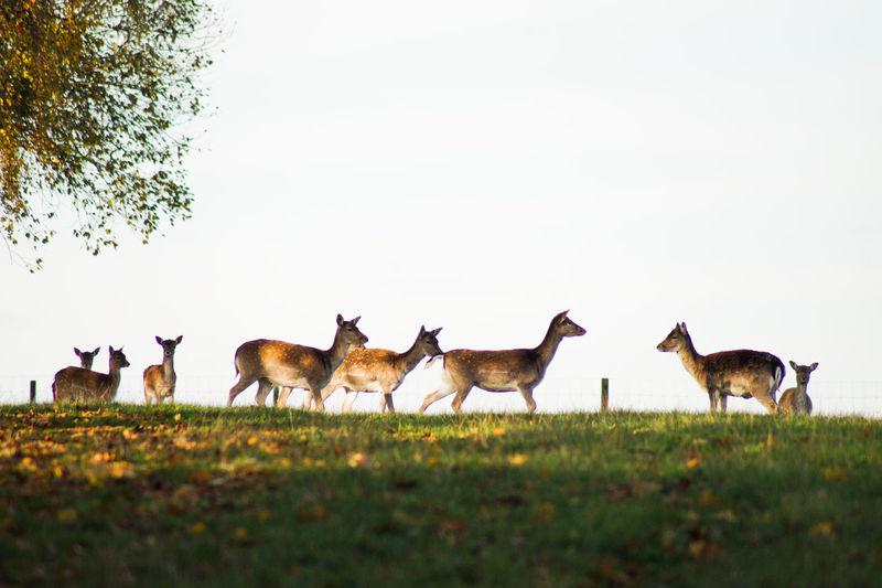 Deer standing on field against clear sky