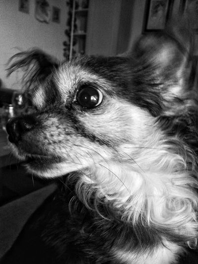 Close-up Mammal One Animal Indoors  Animal Themes Pets Domestic Animals One Person Dog Portrait Day Focus Object Enjoy The New Normal Pet Portraits Black And White Friday