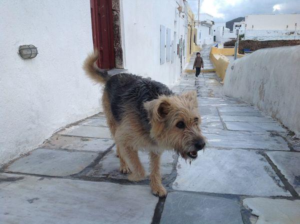 On a street in Santorini Animal Cold Day ❄ Dog Domestic Animals Encounter Footpath Lone Figure Loyalty Mammal Oia One Animal Outdoors Pets Santorini Street Walking