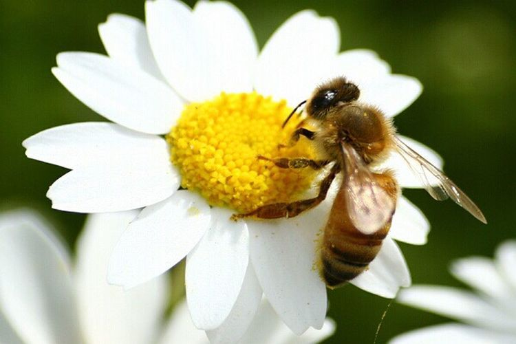 Flower Nature One Animal White Color Flower Head Bee Yellow I Want To Know Your Secret, C I Always Thinking About U, G Thank You,❤️