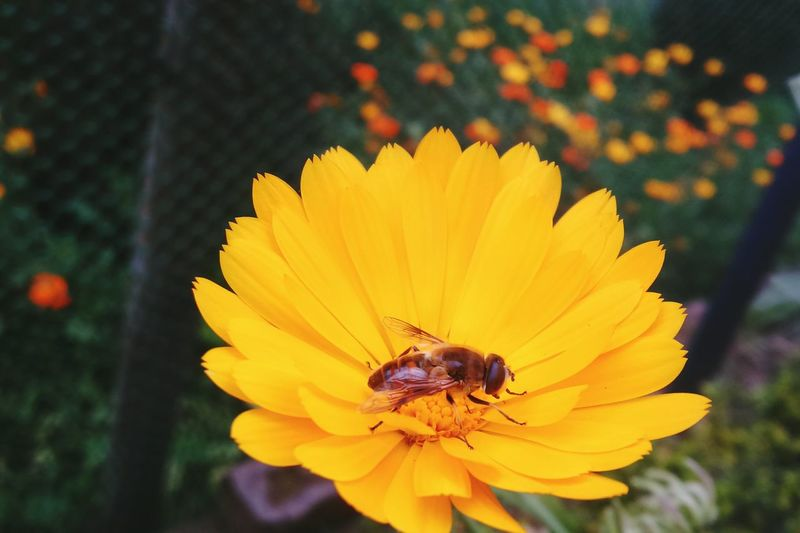 Yellow Flowers Bee And Flower Bee Flower Collection Macro Photography Nature Photography Garden Of The Morning Calm Attracting Flies Flower