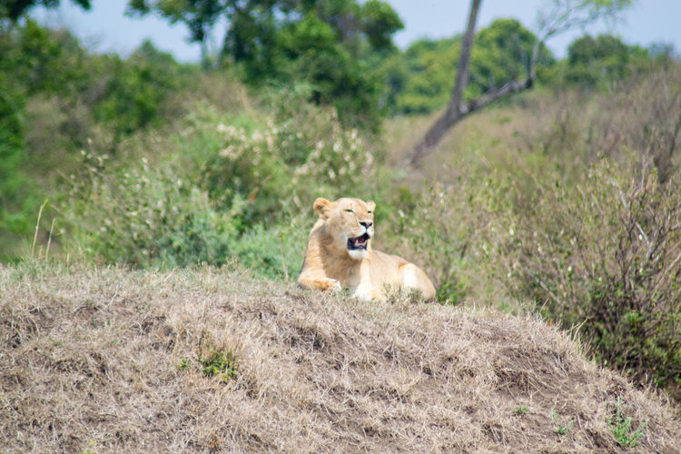 Lioness on field