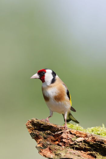 Bird Photography Birds Of EyeEm  Birdwatching EyeEm Birds EyeEm Nature Lover Finch Nature Nature Photography Wildlife & Nature Animal Wildlife Animals In The Wild Beauty In Nature Bird Birds Birds_collection Goldfinch Nature Nature_collection Perching Wildlife
