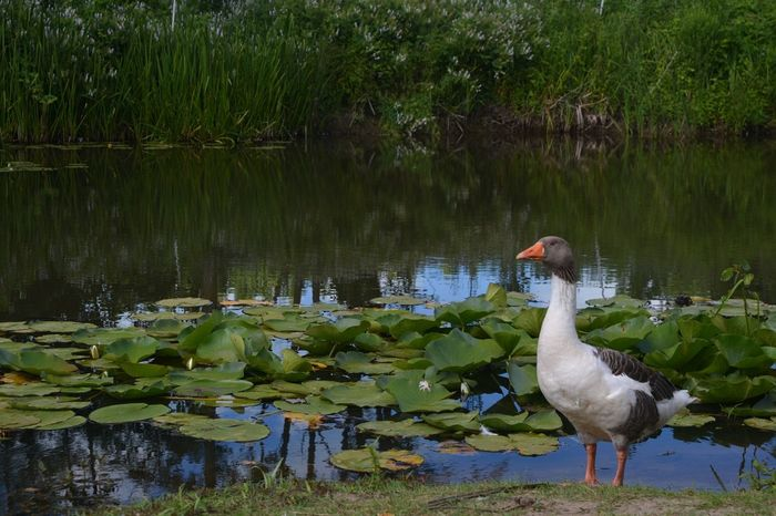 Water Nature Animals In The Wild Animal Themes Bird Türkiye Turkeyphotooftheday Turkey Turkeyphotos Turkeystagram Karasuacarlarlongozu Karasu