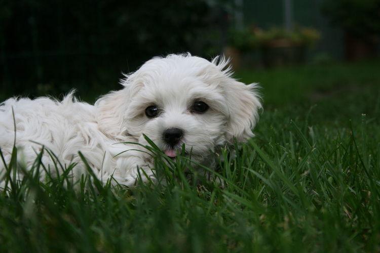 Portrait of white puppy on field