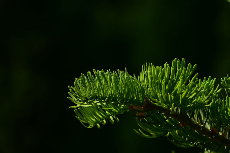 Pine tree branch of fir needles at dark dark background Backgrounds Beauty In Nature Christmas Color Dark Details Fir Forest Fresh Green Natural Beauty Nature Nature_collection Needles Pine Shiny Tree Vivid Wallpaper X-mas Nature's Diversities