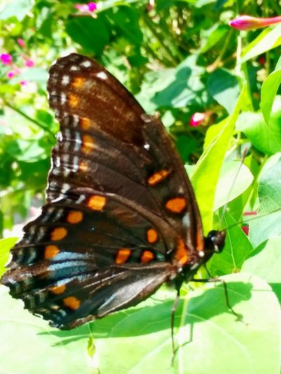 Monarch Butterfly Flower Butterfly - Insect Perching Insect Full Length Butterfly Close-up Animal Themes Plant Green Color Pollination Lantana Animal Wing