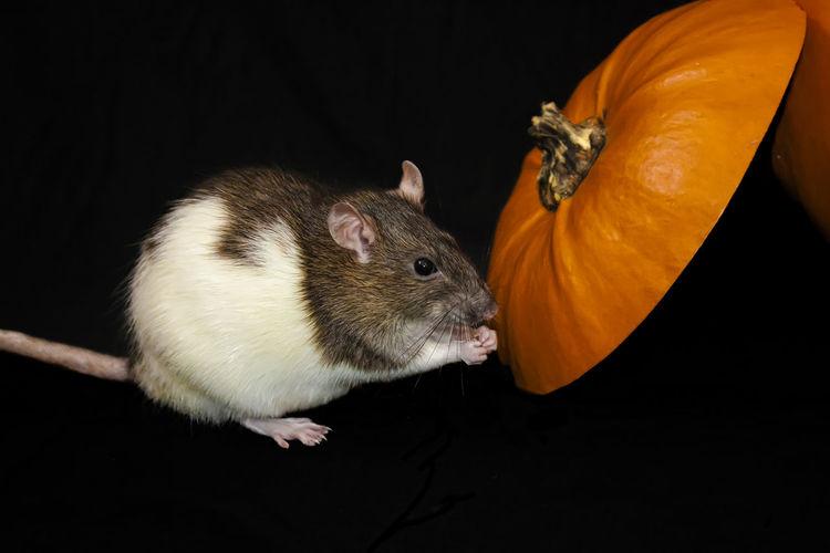 Halloween rat Animal Themes Black Background Domestic Animals Halloween Pet Pumpkin Rat Rodent