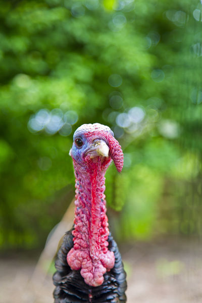 Close up of a farm animal turkey Animal Animal Eye Animal Head  Animal Themes Avian Beak Bird Close-up Farm Focus On Foreground Green Color Livestock Male Animal Multi Colored Nature One Animal Outdoors Red Red Color Turkey Vibrant Color Zoology