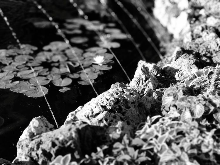 Summer 3 Bw_collection Bw Bws_worldwide Lake Water Plant Flower Flower Collection Light And Shadow Water Leaf Close-up Fragility Stamen Plant Life Petal Growing Cosmos Flower