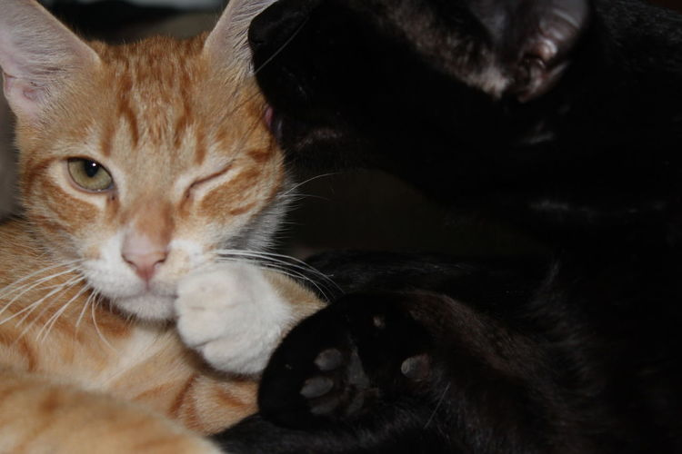 Amor De Hermanos Hermanos Domestic Cat Pets Cat Cats Tobias Y Belly Se Aman