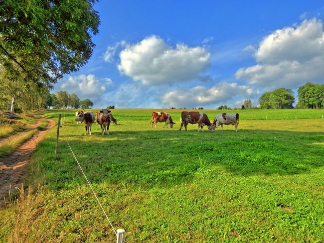 Animal Themes Blue Cloud - Sky Cow Day Domestic Animals Farm Animal Field Full Length Green Green Color Herbivorous Horse Kine Landscape Livestock Mammal Medium Group Of Animals Nature Pasture Shadow Sky Solitude Tranquil Scene Tranquility